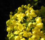 Stechdornblaettrige Mahonie Bluete gelb Mahonia aquifolium 04