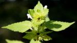 Stechender Hohlzahn Kraut Bluete weiss Galeopsis tetrahit 01