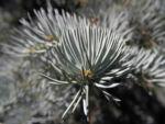 Stechfichte Nadel blaugruen Picea pungens 20