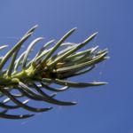 Stechfichte Nadel blaugruen Picea pungens 24