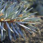 Stechfichte Picea pungens 01