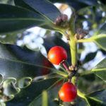 Stechpalme Blatt dunkelgruen Frucht rot Ilex aquifolium 02