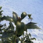 Stechpalme Blatt dunkelgruen Frucht rot Ilex aquifolium 05