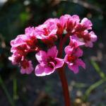 Steinbrech Bergenie Bluete rot Bergenia cordifolia 02