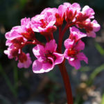 Steinbrech Bergenie Bluete rot Bergenia cordifolia 04