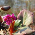 Steinbrech Bergenie Bluete rot Bergenia cordifolia 05