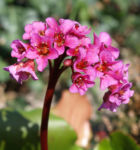Steinbrech Bergenie Bluete rot Bergenia cordifolia 09