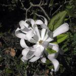 Stern Magnolie Bluete weiß Magnolia stellata 06