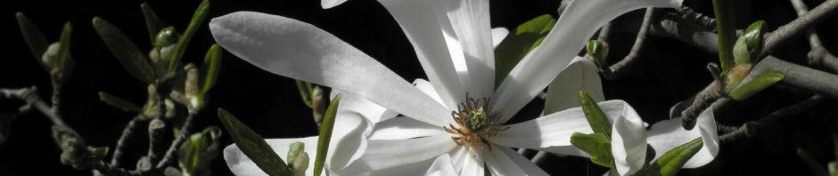 stern-magnolie-bluete-weiss-magnolia-stellata