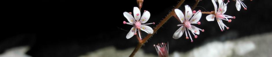 stern-steinbrech-bluete-weiss-pink-saxifraga-stellaris