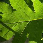 Stiel Eiche Blatt Quercus robur 02