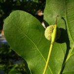 Stiel Eiche Blatt Quercus robur 06
