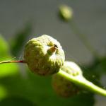 Stiel Eiche Blatt Quercus robur 08