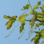 Stiel Eiche Bluete Quercus robur 01
