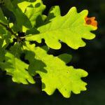 Stiel Eiche Eichel braun Blatt gruen Quercus robur 06