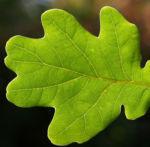 Stiel Eiche Eichel braun Blatt gruen Quercus robur 08