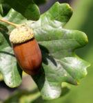 Stiel Eiche Eichel braun Blatt gruen Quercus robur 11