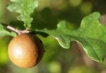 Stiel Eiche Gallapfel braun Quercus robur 01