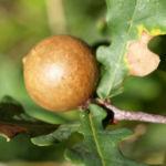 Stiel Eiche Gallapfel braun Quercus robur 02