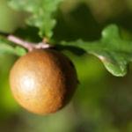 Stiel Eiche Gallapfel braun Quercus robur 04