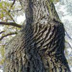Stiel Eiche Rinde Quercus robur 01