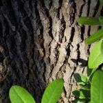 Stiel Eiche Rinde Quercus robur 02
