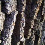 Stiel Eiche Rinde Quercus robur 03
