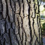 Stiel Eiche Rinde Quercus robur 04