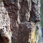 Stiel Eiche Rinde Quercus robur 05