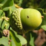 Stieleiche Baum Blatt gruen Eichel Quercus Robur 03