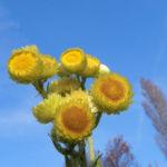 Stinkende Strohblume Bluete gelb Helichrysum foetidum 02