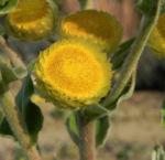 Stinkende Strohblume Bluete gelb Helichrysum foetidum 03