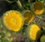 Stinkende Strohblume Bluete gelb Helichrysum foetidum 08