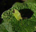 Stockrose Blatt gruen Gruene Stinkwanze Palomena prasina Alcea rosea 04