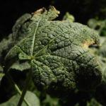 Stockrose Blatt gruen Alcea rosea 02 1