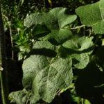 Stockrose Blatt gruen Alcea rosea 03 1