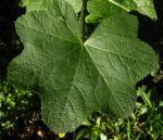 Stockrose Blatt gruen Alcea rosea 04