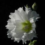 Stockrose Blute weiss Blatt gruen Alcea rosea 07