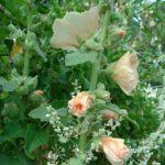 Stockrose creme Alcea rosea Hybriden 01