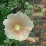 Stockrose creme Alcea rosea Hybriden 03