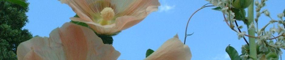 stockrose-bluete-creme-alcea-rosea