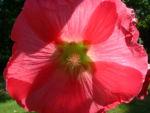Stockrose hellrot Alcea rosea 02