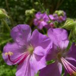 Storchschnabel Geranium x cantabrigiense 03