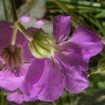 Storchschnabel Geranium x cantabrigiense 04
