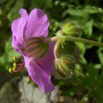 Storchschnabel Geranium x cantabrigiense 05