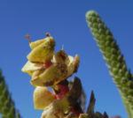 Strand Wolfsmilch Blatt gruen Euphorbia paralias 04