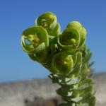 Strand Wolfsmilch Blatt gruen Euphorbia paralias 06