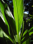 Strandflieder Blatt gruen Limonium dendroides 01