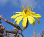 Strauch Dornlattich Bluete gelb Launaea arborescens 03