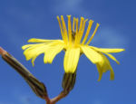 Strauch Dornlattich Bluete gelb Launaea arborescens 04